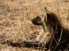 Free African Hyena Stock Photos - 6248403