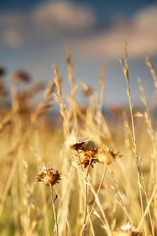 Dry Reeds Royalty Free Stock Photo