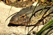 Big Lizard Royalty Free Stock Images