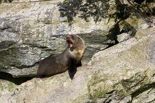 Free Seal Royalty Free Stock Image - 6249246