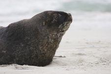 Free Seal - Sea Lion Royalty Free Stock Photo - 6249345