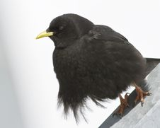 Alpine Chough (Pyrrhocorax Graculus) Stock Images