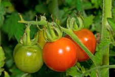 Free Tomatoes On Branch Stock Images - 6249754