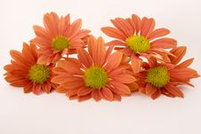 Free Five Orange Daisies On White Stock Images - 6249854