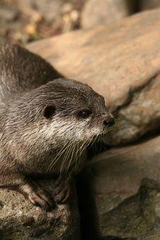 Free Otter Stock Photo - 6249970