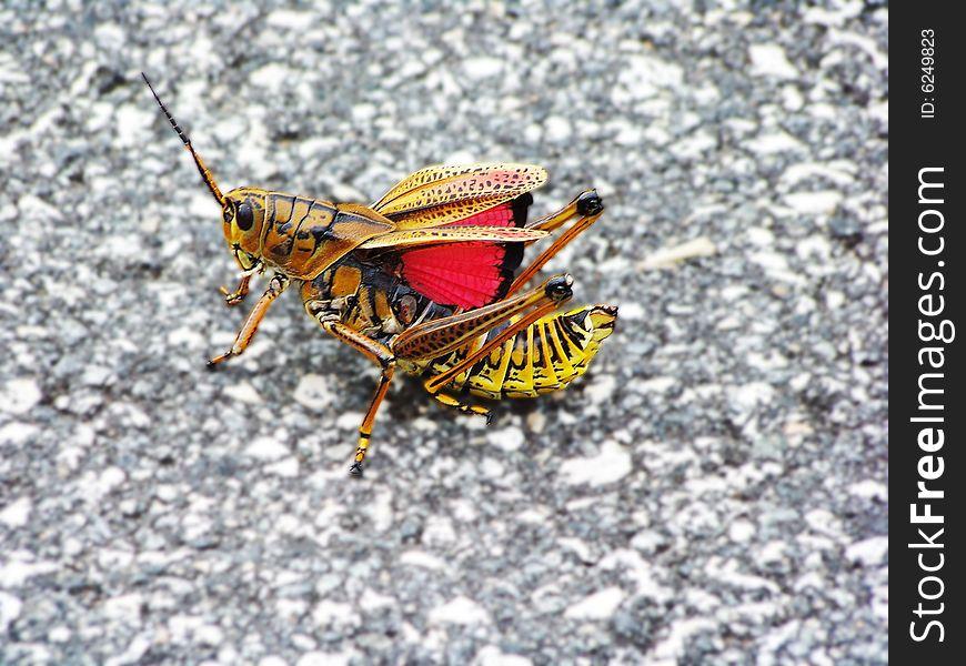 Daytona Beach grasshopper