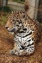 Free Jaguar Stock Image - 6252051