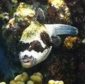 Free Puffer Fish Royalty Free Stock Image - 6259746