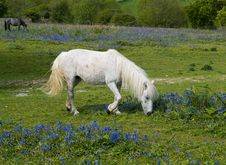 Free Horse And Bluebells Royalty Free Stock Images - 6250239