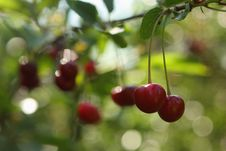 Free Cherry Brunch Stock Image - 6251081