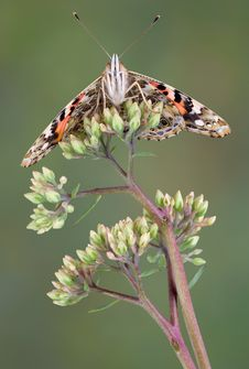 Underside Of Painted Lady Butterfly Royalty Free Stock Photo