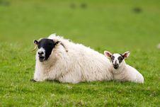 Free Sheep Royalty Free Stock Image - 6251436
