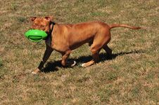 Free Pit Bull Playing With A Ball Stock Photography - 6252112