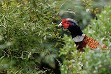 Free Pheasant Stock Images - 6253984