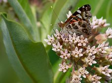 Free Painted Lady Butterfly Royalty Free Stock Images - 6254119