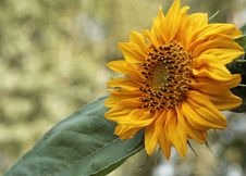 Beautiful Sunflower In The Sunlight Stock Photography