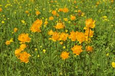 Free Globe-flowers Field Royalty Free Stock Image - 6254666