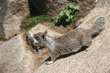 Free Curious Squirrel Stock Photos - 6255153