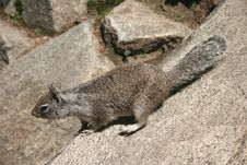 Free Curious Squirrel Royalty Free Stock Photography - 6255157