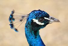 Free Peacock Royalty Free Stock Images - 6255519