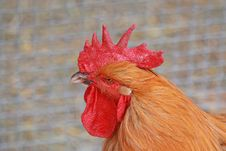 Rooster S Head Stock Images
