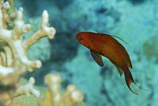 Free Male Anthias Fish Stock Photo - 6256170