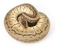 Ball Python (Python Regius) Stock Photos
