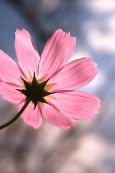 Free Cosmos Flower Stock Image - 6257301