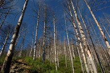 Free Trees In Siberia Royalty Free Stock Photos - 6257708
