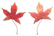 Free MAPLE LEAF Royalty Free Stock Image - 6257926