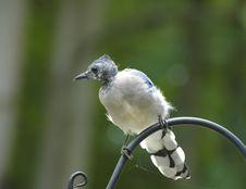Free Blue Jay Stock Photo - 6258440
