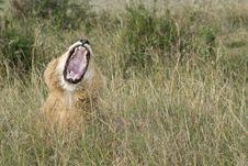 Free LION YAWN. Stock Photo - 6258920