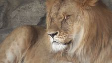 Free Lion At The Zoo Stock Images - 62544154