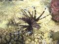 Free Lion Fish Stock Photos - 6260013