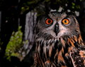 Free Euro Asian Eagle Owl Stock Image - 6260021