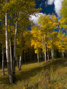 Free Bright Aspens In A Dark Forest Stock Photos - 6261653
