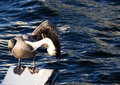 Free Pelican Grooming Stock Images - 6264624