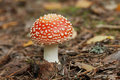 Free Fly Agaric Royalty Free Stock Photos - 6265418