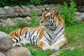 Free Tiger. Royalty Free Stock Photo - 6267155