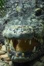 Free Dangerous Crocodile Stock Image - 6268951