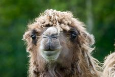 Free Close-up Of A Camel Stock Photography - 6260302