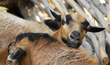 Free Goat Stock Images - 6260944