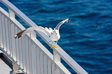 Free Balancing Seagull Royalty Free Stock Photos - 6261188