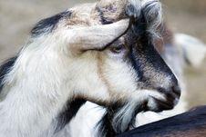 Free Goat Portrait Stock Photography - 6261802