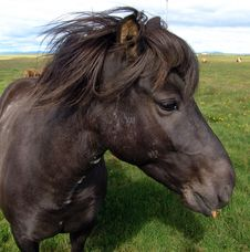 Free The Icelandic Horsy Royalty Free Stock Photo - 6262465