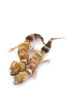 Free Barking Gecko (Nephrurus Milii) Royalty Free Stock Photos - 6263218