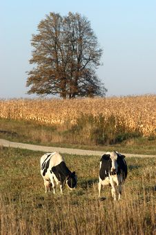 Free Cows Grazing Stock Photography - 6263322