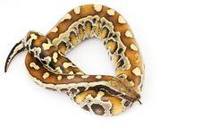 Free Blood Python Stock Image - 6263331