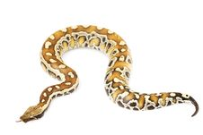 Free Blood Python Royalty Free Stock Image - 6263396