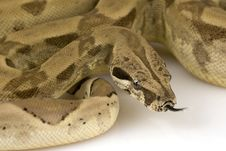 Free Boa Constrictor Royalty Free Stock Photography - 6263657